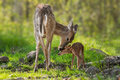 White-Tailed Deer (Odocoileus Virginianus) Mother And Fawn Stock Images - 53112704