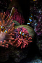 Clown Fishes And Sea Anemone Stock Image - 53144461