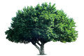 Isolate Tree Stock Images - 53170204
