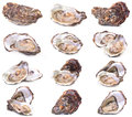 Fresh Oyster Royalty Free Stock Images - 53171629