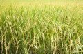 Paddy Rice In Field Stock Images - 53218804