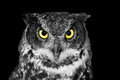 Great Horned Owl In BW Royalty Free Stock Images - 53237409