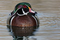 Wood Duck Stock Photography - 53258072