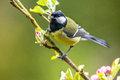 Great Tit Feeding Young Stock Photos - 53267283