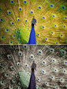 An Indian Peafowl Is Spreading It S Tail-feathers To The Female Stock Photos - 53293513