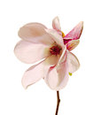 Pink, Purple Magnolia Branch Flower, Close Up,  White Background Stock Photos - 53296323