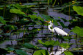 A Wild Great White Egret Hunting For Fish At Brazos Bend Stock Image - 53313801