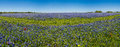A Wide Angle High Resolution Panoramic View Of A Field Of Famous Texas Bluebonnets Royalty Free Stock Photo - 53313975