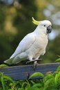 Cockatoo Dancing On Fence Royalty Free Stock Photo - 53321935