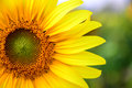 The Sunflower Royalty Free Stock Photography - 53328637