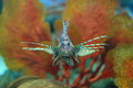 Lionfish Stock Photography - 53333842