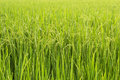 Paddy Rice In Rice Field Royalty Free Stock Photography - 53348527