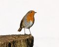 Robin Royalty Free Stock Photo - 53350105