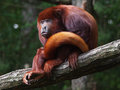 Red Howler Monkey Stock Photography - 53360902
