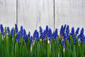First Blue Springs Flowers Muscari Border On Wooden Table Background Royalty Free Stock Image - 53362346