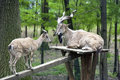 Wild Goats Royalty Free Stock Images - 5342429