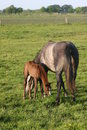 Horse And Foal In Meadow Stock Photography - 5349192