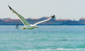 Seagull Royalty Free Stock Images - 53425629