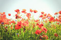 Red Poppy Field Royalty Free Stock Photography - 53428727