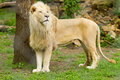 Male Lion Royalty Free Stock Images - 53438609