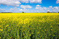 Rape Seed Field Royalty Free Stock Photos - 53446698