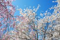 Beautiful Blooming Cherry Trees During Spring Stock Image - 53451391