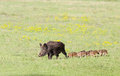 Wild Boar With Piglets Stock Images - 53455964