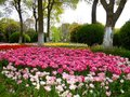 A Field Of Colorful Tulips Blooming Between Camphor Trees In Early Spring Stock Images - 53466724