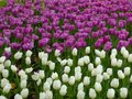 A Field Of White And Purple Tulips Blooming In Early Spring Royalty Free Stock Photo - 53466985