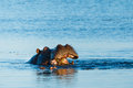 Hippo Eating In River Chobe Botswana Africa Royalty Free Stock Photography - 53477697