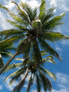 Two Coconut Palm Trees Stock Photos - 53482403
