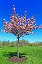 Flowering Peach Tree Stock Image - 53483691