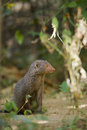 Indian Gray Mongoose In Sri Lanka Stock Images - 53487044