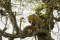 Leopard In A Tree With Its Prey, Serengeti, Tanzania Stock Image - 53537601