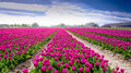 Tulips In Holland Stock Photography - 53541232
