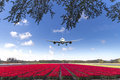 Landing On A Tulips Red Carpet Royalty Free Stock Photo - 53568285