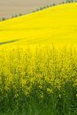 Yellow Rape Royalty Free Stock Image - 5360446