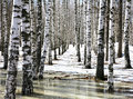 Birch Grove In Early Spring Water Stock Photo - 53601050