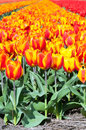 Spring Field Of Red And Striped Tulips Stock Photos - 53602643