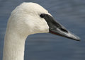 Trumpeter Swan Royalty Free Stock Images - 53617359