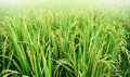Paddy Rice Plant In Rice Field , Thailand Stock Photo - 53643830