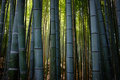 Bamboo Forest Stock Photo - 53662810