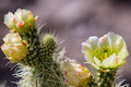 Blooming Desert Cactus Stock Photos - 53665243