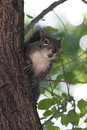 Gray Squirrel Royalty Free Stock Image - 53667166