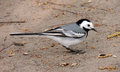White Wagtail Stock Photography - 53674192