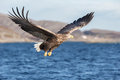 White-tailed Eagle In Flight. Stock Image - 53694801