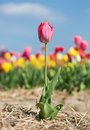 Purple Solitude Flower In Front Of A Field Of Tulips Stock Image - 53714991