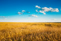 Yellow Wheat Ears Field On Blue Sunny Sky Royalty Free Stock Photography - 53721087