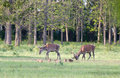 Red Deer And Piglets Stock Photo - 53754030