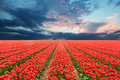 Tulip Field In Netherlands Royalty Free Stock Photography - 53761497